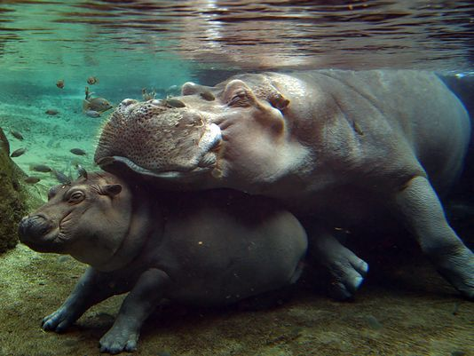 Henry the Hippo and Fiona