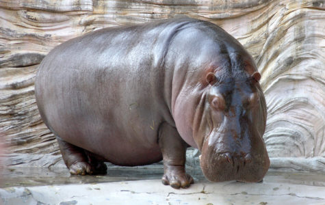 Henry the Hippo