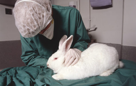 Rabbit in Research for Animal Testing